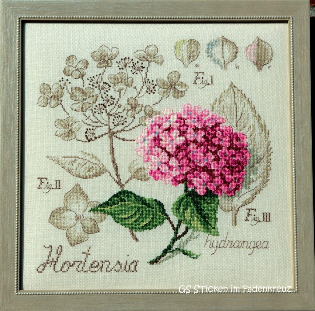 Hortensie von LBP